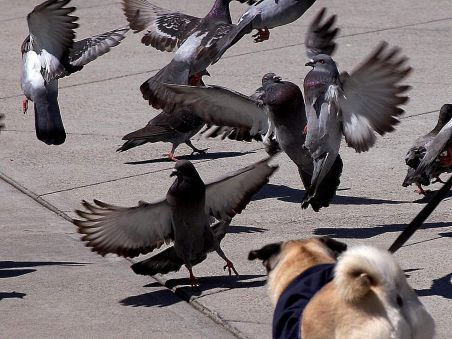 pigeons-taking-off
